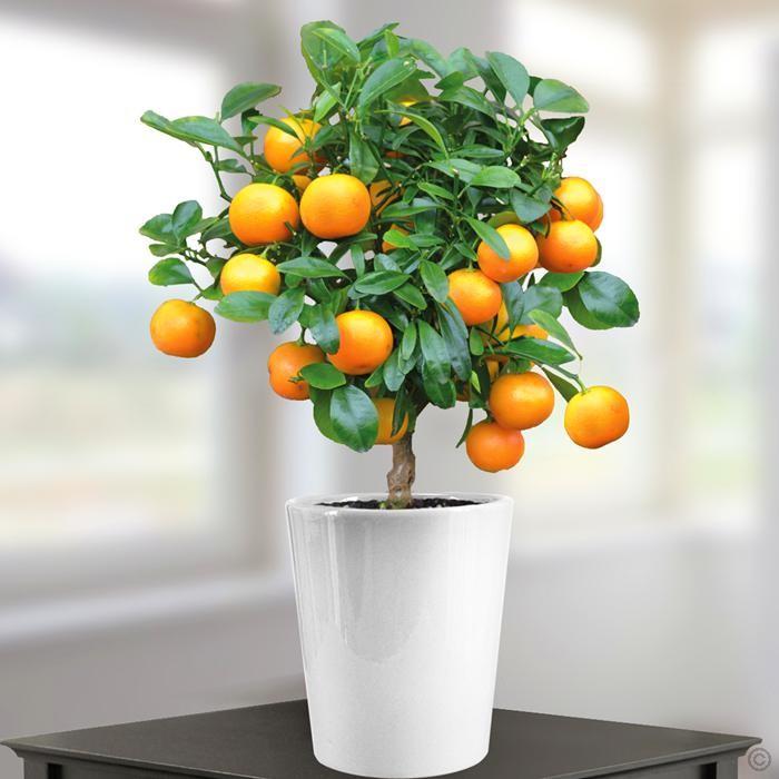 indoor-citrus-trees-2-mini-orange-tree-700-x-700