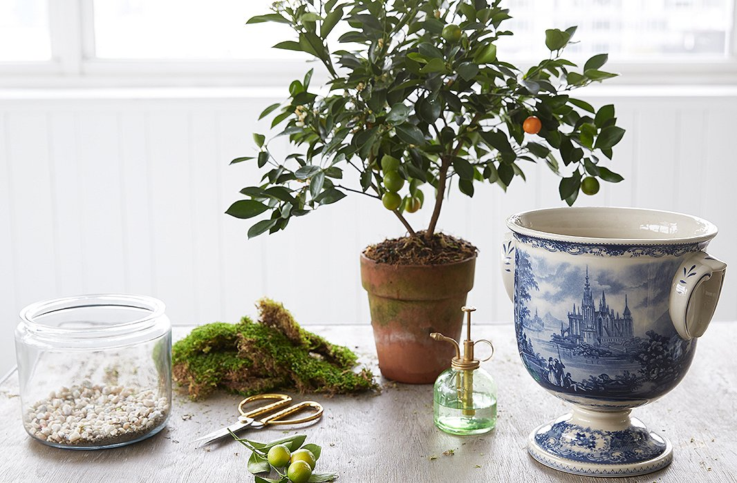 indoor_citrus_tree_02