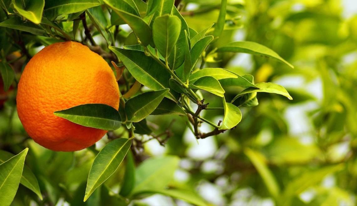 citrus-aurantium-amara-l