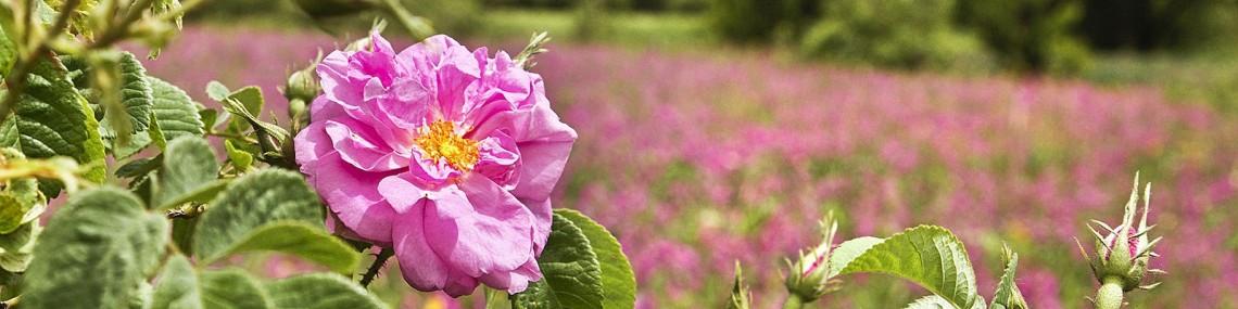 catban-wildrose