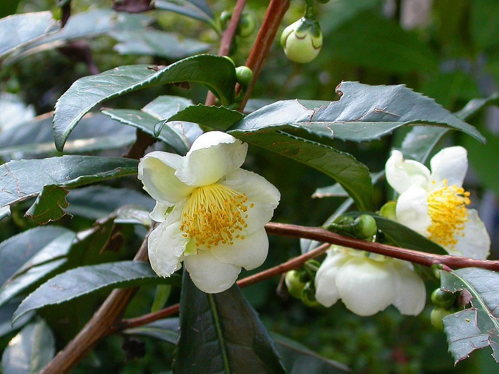 Camellia-sinensis-flowers