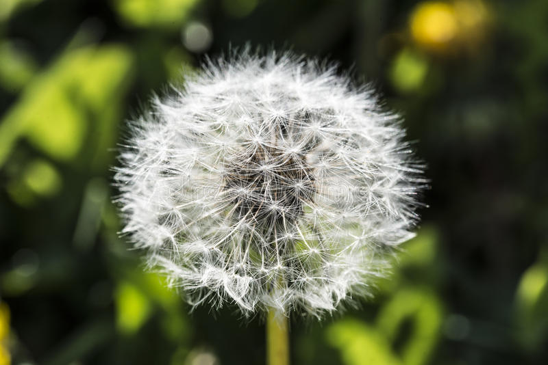 dandelion-botanical-name-taraxacum-officinale-perennial-weed-health-benefits-include-relief-liver-disorders-91127830